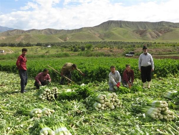 آغاز برداشت محصول کرفس از ۱۸۰ هکتار مزارع شهرستان طارم