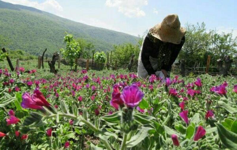 سطح کشت گیاهان داروئی در استان به حدود ۴۵۰ هکتار افزایش یافته است