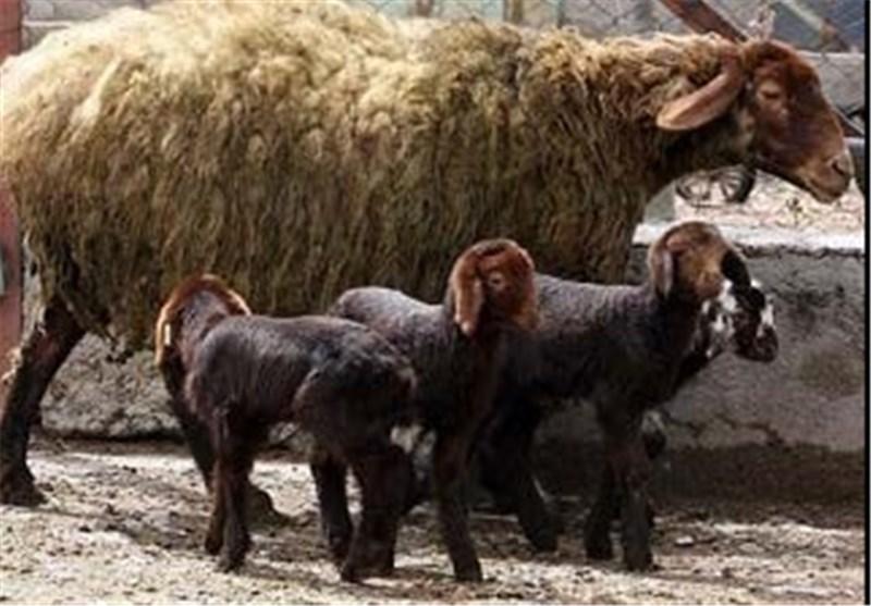 اصلاح نژاد گوسفند افشاری در بیش از ۲۵۰۰۰ راس از دام های استان زنجان