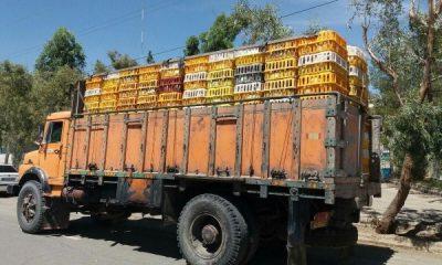 بيش از 5 هزار مرغ فاقد مجوز در شهرستان سلطانيه کشف شد