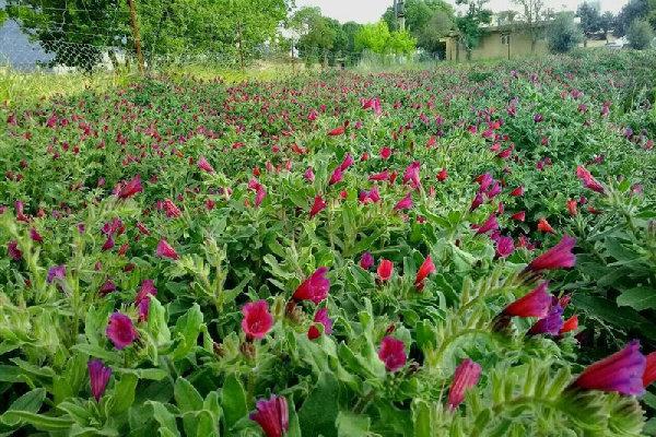 کشت گیاهان دارویی در۶۷۰ هتکار از زمینهای زنجان