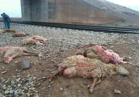 25 راس گوسفند در برخورد با قطار در زنجان تلف شدند