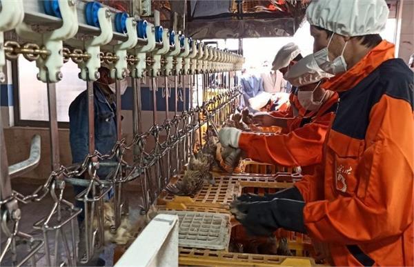 راه اندازی بزرگترین خط کشتار صنعتی بلدرچین شمال غرب در زنجان