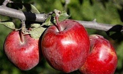 بیش از 134هزار تن سیب در زنجان تولید میشود